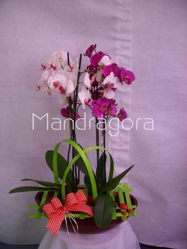 phalaenopsis dos plantas y maceta